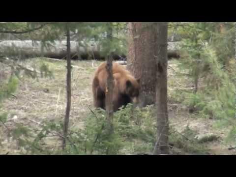 Cinnamon Black Bear Yellowstone National Park