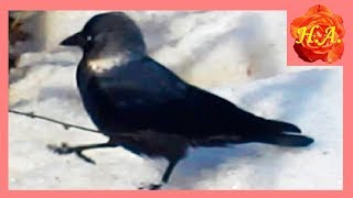 Галки Птицы весной  Интересное про птиц🐦