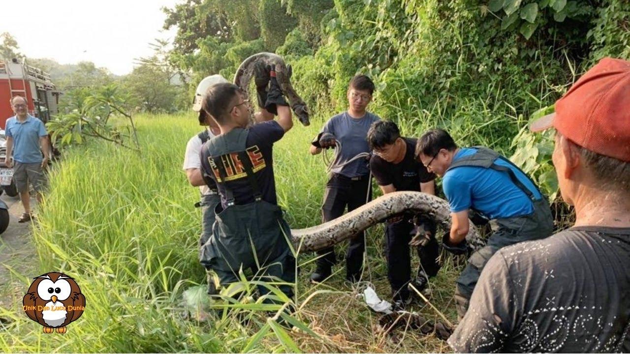 Ular Piton Sepanjang 6 Meter Ditangkap Tim Penyelamat di Kaohsiung
