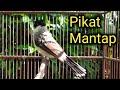 Suara Pikat Burung Kutilang Ampuh Langsung Lengket  Mp3 - Mp4 Download