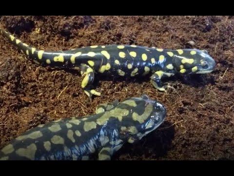 Salamander Care and Feeding