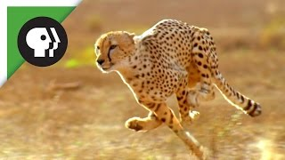 Did the American Cheetah Make the Pronghorn Fast?
