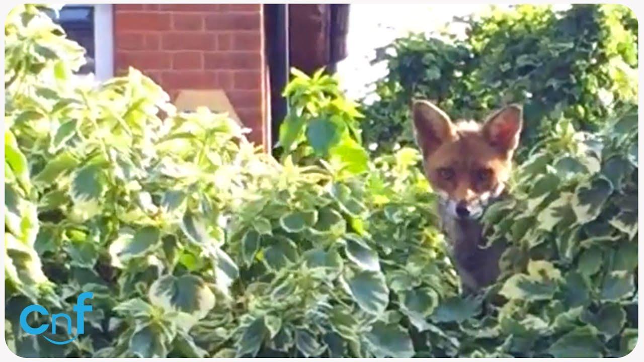 Fox in the Backyard | What a Fox - YouTube