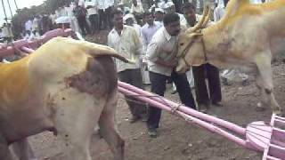 Repeat youtube video maharashtra bailgada rece kendur shiva shinde