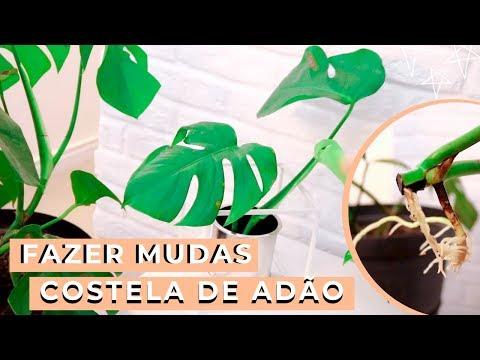 COMO FAZER MUDAS DE COSTELA DE ADÃO