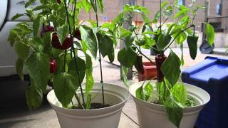 Growing peppers in containers: harvest!