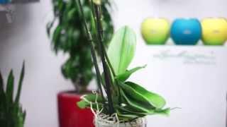 видео Орхидея в горшке с доставкой по Москве