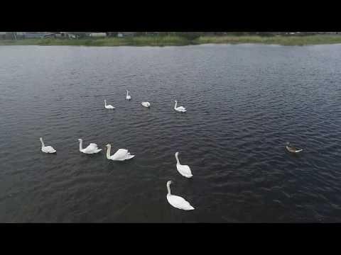 Лебеди на озере Чистом в Шумихе