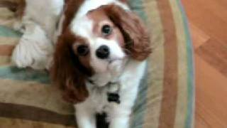 My Cavalier King Charles Spaniel, Mylo Ready To Go Out?