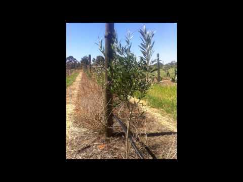 Super High Density Olive Grove - Alan Hillier Grove visited Olive Alliance Field Day