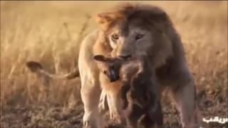 【閲覧注意】野生動物の掟 弱肉強食⑥ ライオンの非情さ 超リアルでグロ...