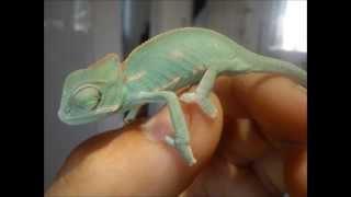camaleon calyptratus (evolucion)