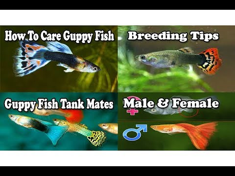 How to care guppy fish its tank mates gender for How to take care of fish tank