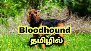 Bloodhound dog breed tamil || pets tamizhan|| subscribe  #bloodhounddog. #petstamizhan
