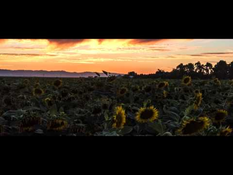 Sunflowers Field in Dixon, California - Aerial and Timelapse