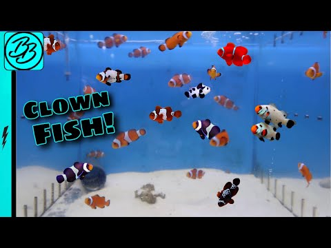 HUNDREDS Of CLOWN FISH Have The Most BEAUTIFUL COLORS!  *New Aquarium Pets!*