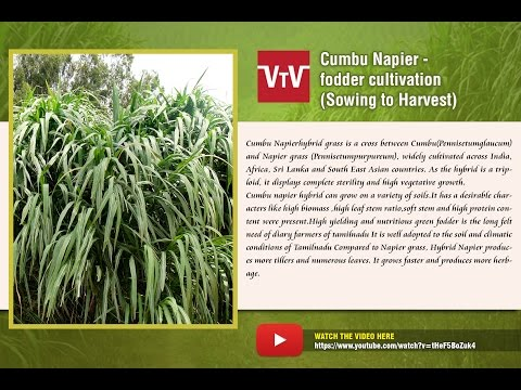 Cumbu Napier fodder cultivation