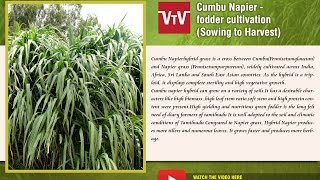 Cumbu Napier fodder cultivation