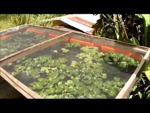 Alimento vivo para peces infusorios larvas de mosqui for Como hacer un criadero de peces