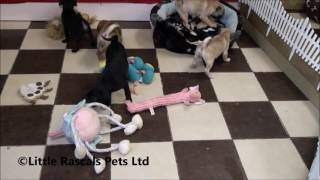 Little Rascals Uk Breeders New Litter Of 7/8th Pug Puppies