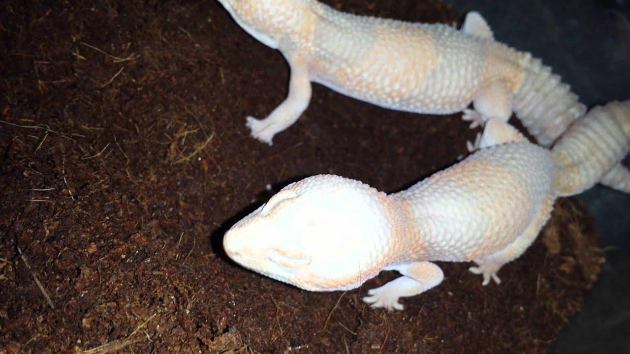 Albino bbw