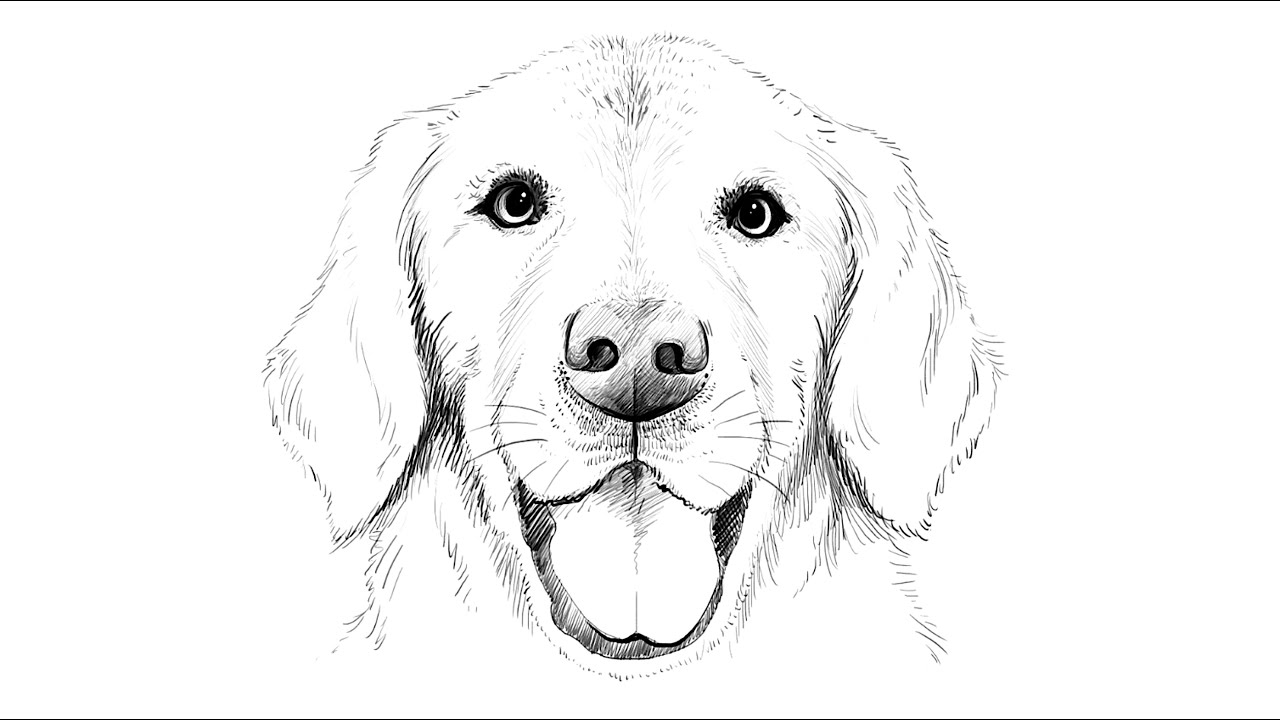 Golden Retriever Dog Drawing Easy