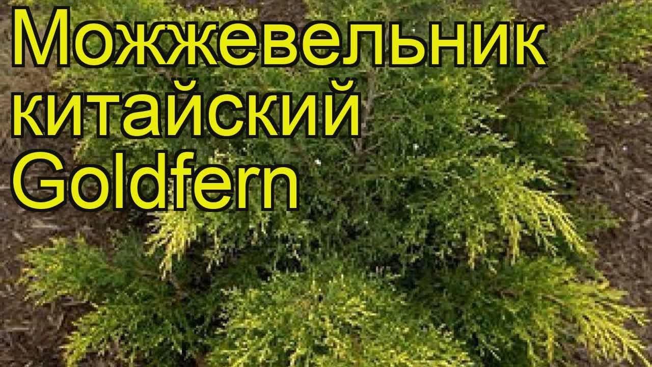 Саженцы можжевельника китайского голдферн (goldfern) – фонтан хорошего настроения, купить лучшие сорта для сада, выбрать крупномеры по.