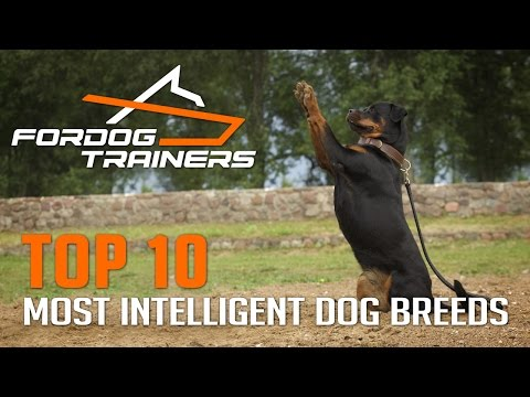 Top 10 Most Intelligent Dog Breeds - ForDogTrainers Top 10 Chart 🐕