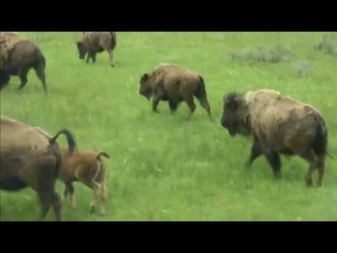 黃石公園 美洲野牛 Yellowstone N.P. Bison