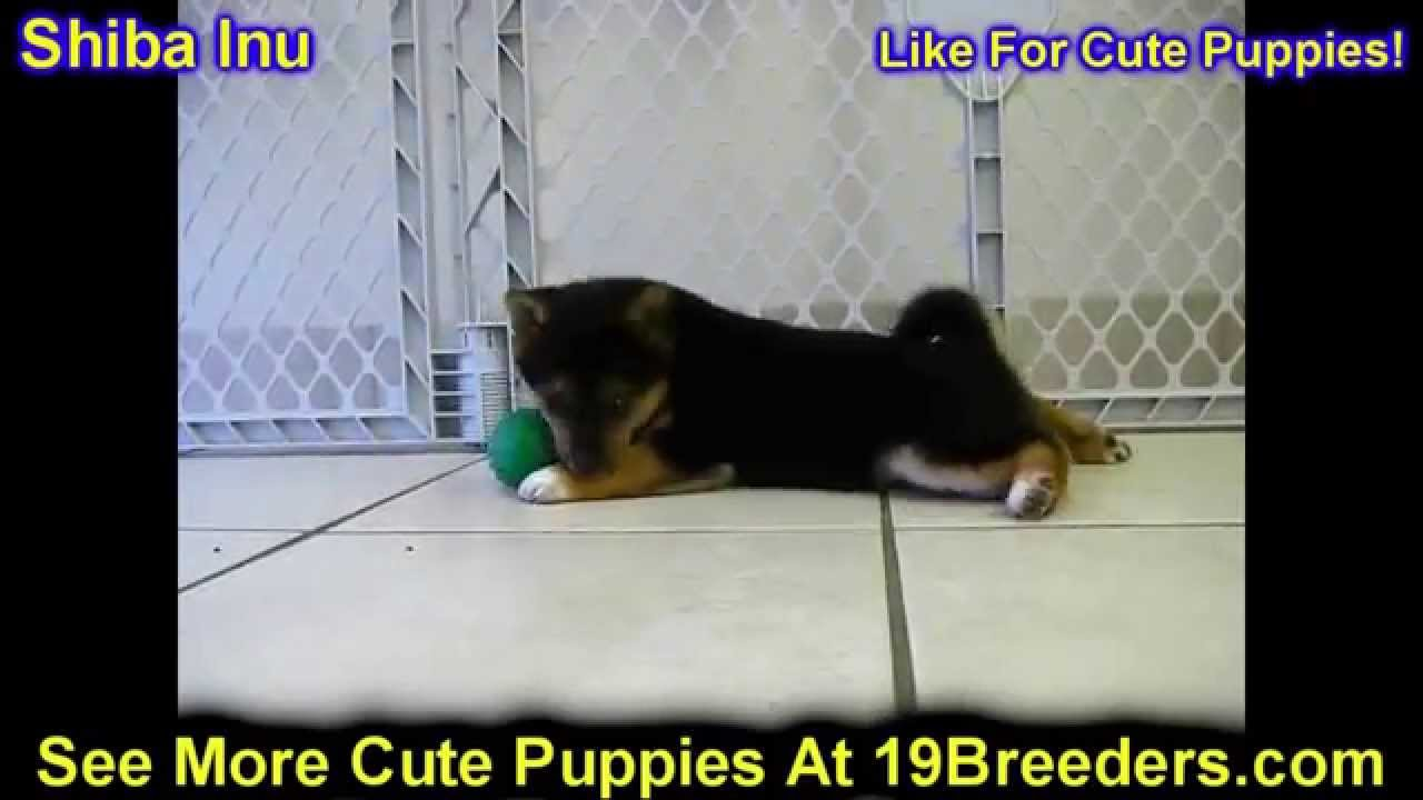 Craigslist Las Cruces Nm >> Shiba Inu, Puppies, Dogs, For Sale, In Las Cruces, County ...