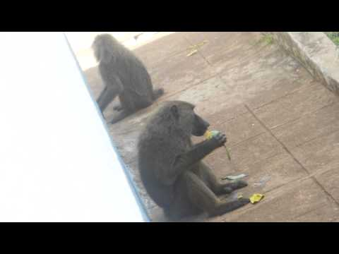 Mango Stealer Baboon ~ Mole National Park ~ Ghana, Africa