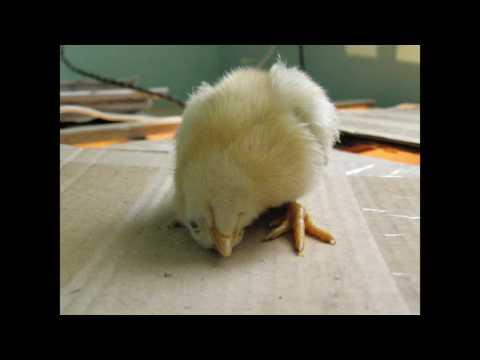 Почему цыплята опускают крылья и дохнут?