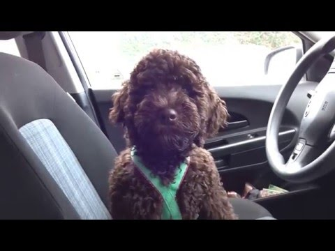 Talking Barbet puppy (15 weeks old)