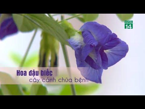Hoa đậu biếc - Cây cảnh chữa được bệnh  VTC14