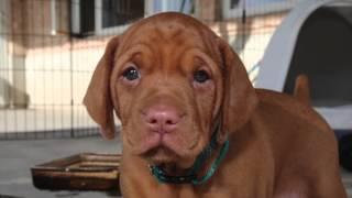 Vizsla Pup  First 8 Weeks