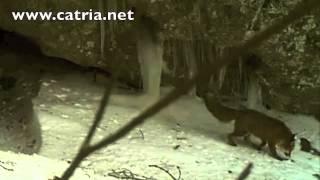 Monte Catria - La volpe nella tana del tasso