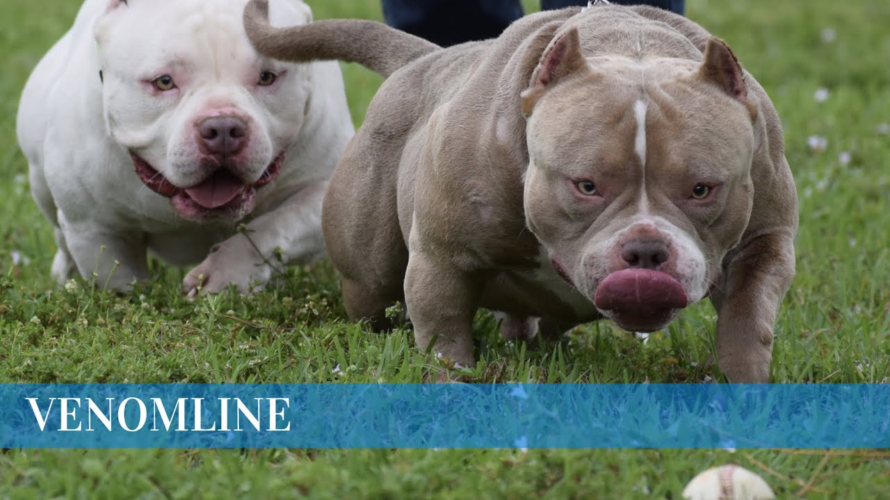 POCKET AMERICAN BULLY | VENOMLINE | MASS, BONE, BREED TYPE & FUNCTIONALITY