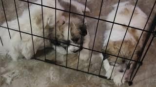 Coton Puppies For Sale - Eliza, Isha, Inca 6/13/21
