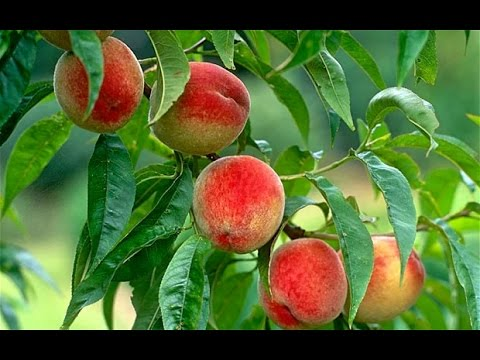 How to Grow Peaches Organically – Complete Growing Guide