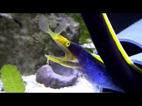 Nasenmuränen - Rhinomuraena Quaesita Bei Rent The Aqua Men