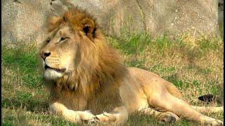 LION BITE: Trespasser at Fresno Zoo bitten by lion