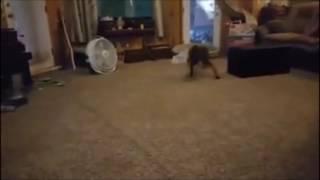 Deja Vu Dog