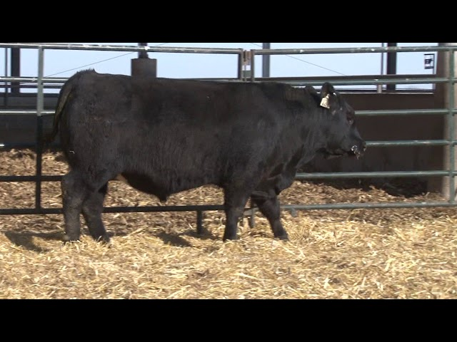 Schiefelbein Angus Farms Lot 35
