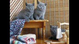 Британские котята и мыльные пузыри.