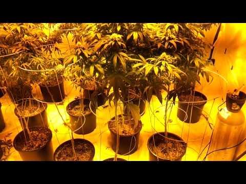 Seattle indoor Og kush plants