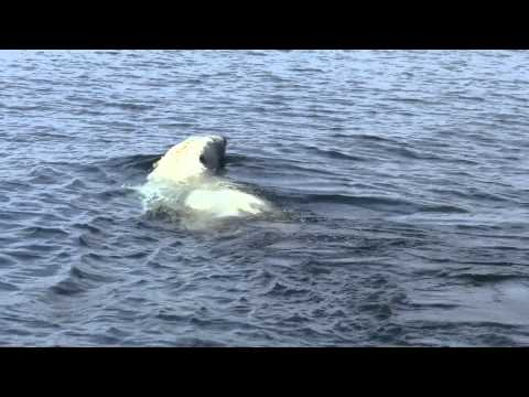 Polar Bear Swimming in the Hudson Bay Pt. 1