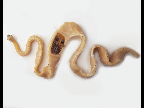 Животные (Часть 22) -  Класс Ленточные черви