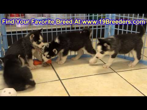 Siberian Husky, Puppies, For, Sale, In, East Honolulu, Hawaii, HI, Makaha, Pukalani, Haiku Pauwela,