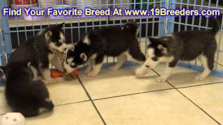 Siberian Husky, Puppies, For, Sale, In, East Honolulu, Hawaii, HI, Makaha, Pukalani, Haiku Pauwela,