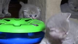 Игривые котята из предыдущего выводка